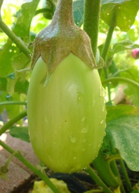 JALGAON BHARIT BRINJAL