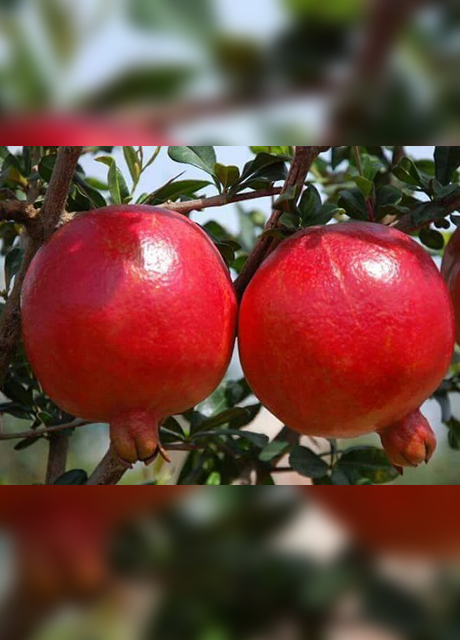 SOLAPUR POMEGRANATE