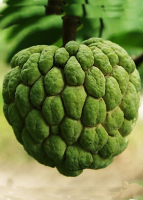 BEED CUSTARD APPLE