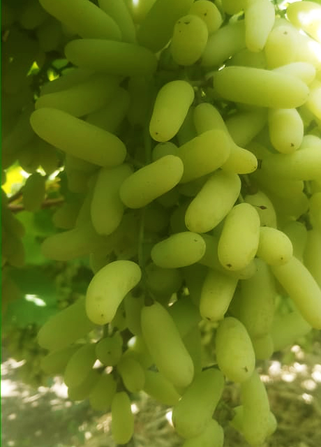 NASHIK GRAPES