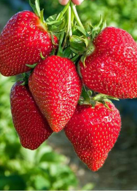 MAHABALESHWAR STRAWBERRY
